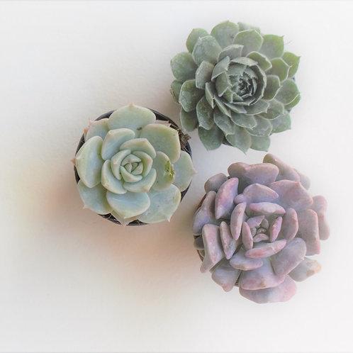 Mini Succulent