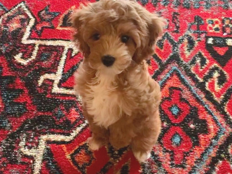 Puppy of the Month - Smuckers!