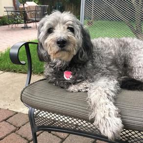 Senior Dog of the Month - Sullivan!
