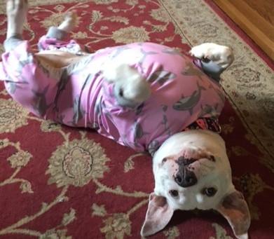 Senior Dog of the Month - Asha!
