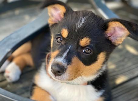 Puppy of the Month - Kofi!