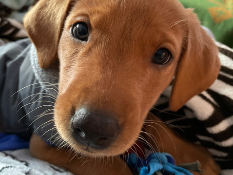 Puppy of the Month - Copper!