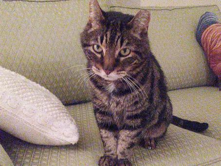 Senior Cat of the Month - Tiger!