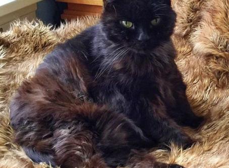 Senior Cat of the Month - Victoria!