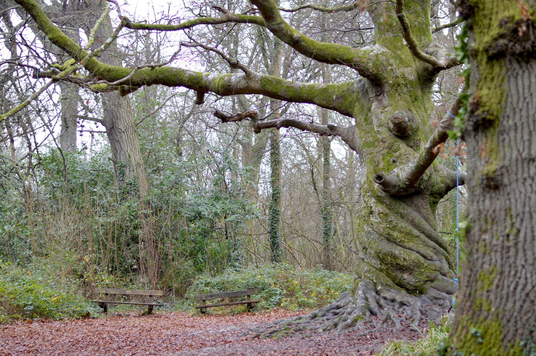 Twisted Tree, Tehidy Woods