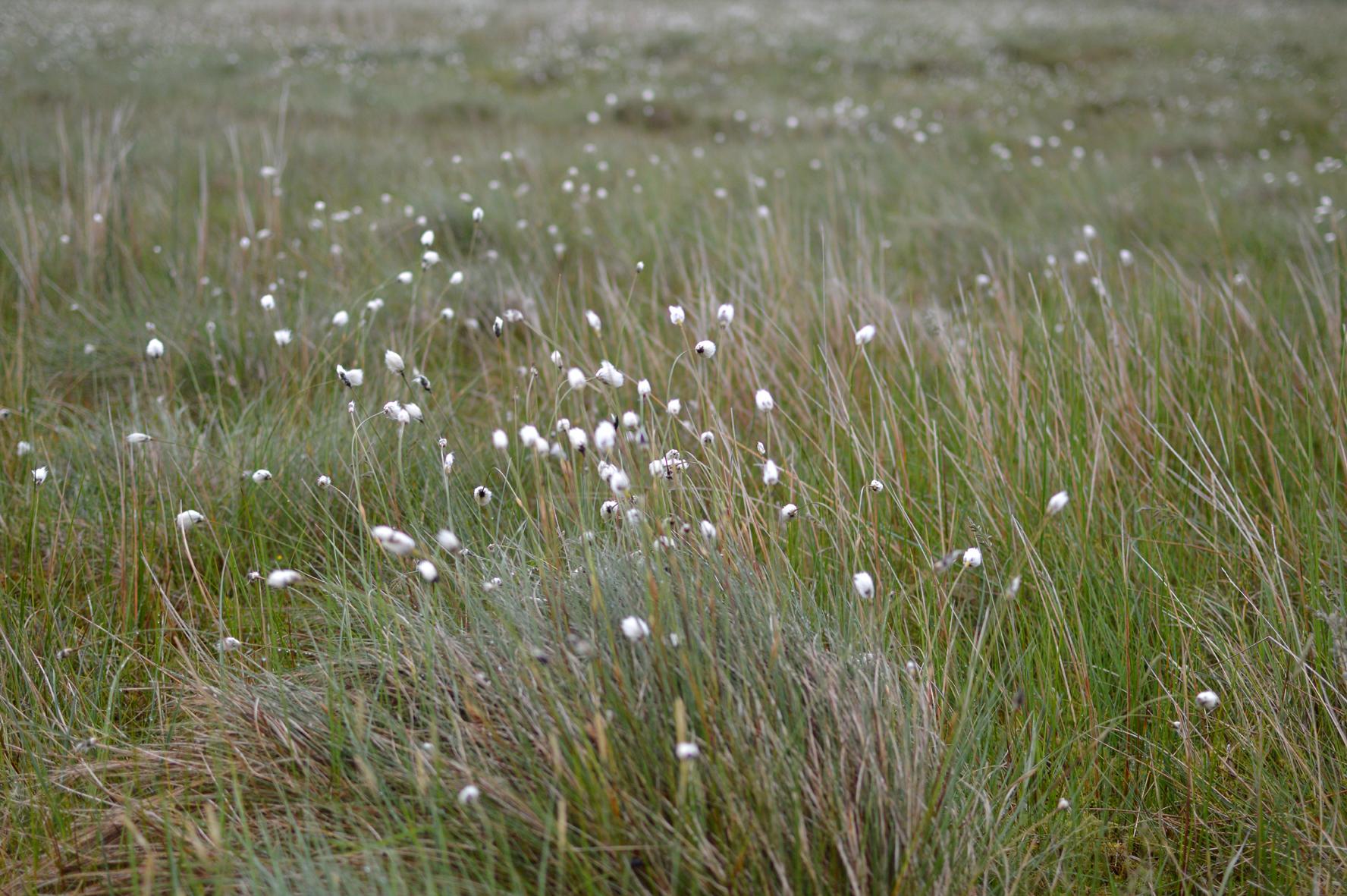 Beautiful Bog Cotton