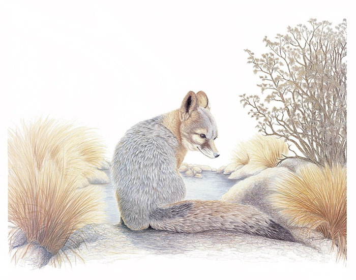 The Desert Gray Fox