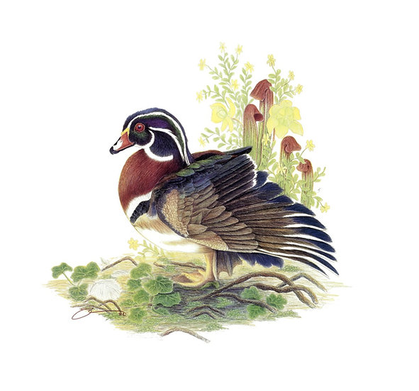 The Wood Duck