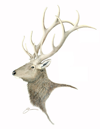 The Young Champion Elk
