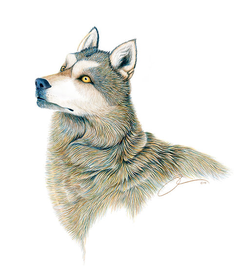 Alpha Female Alaskan Interior Wolf
