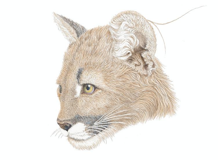 The Mountain Lion Cub
