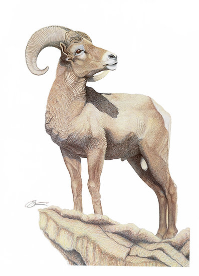 The Big Horn Sheep