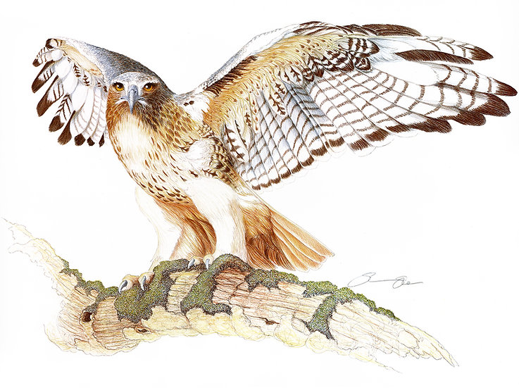 The Red Tail Hawk