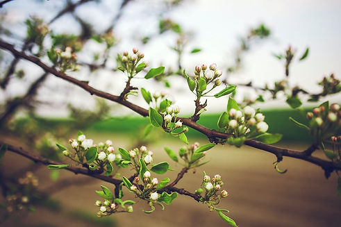 spring apple buds.jpg