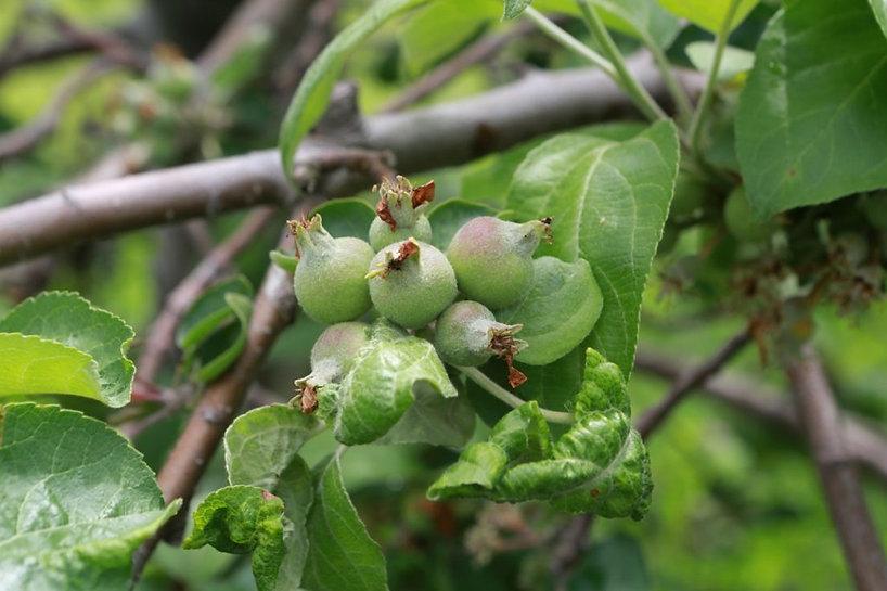 summerapple tree.jpg