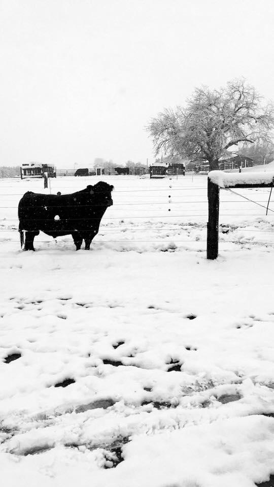 Bull in snow
