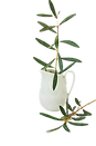 Olive%20tree%20branches%20in%20pitcher%2