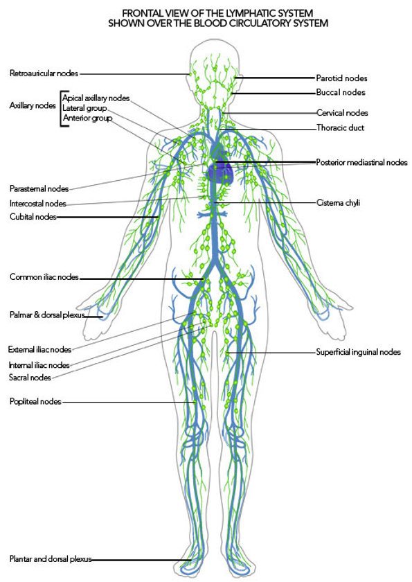 lymphatic-system-over-blood-system5.jpg