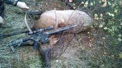 Quast Elk