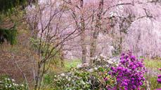 春櫻杜鵑花