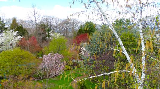 春天白樺的花
