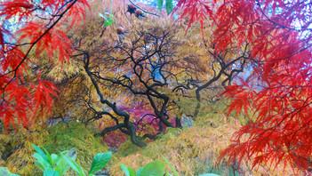 百年珍種日本楓樹