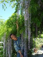 爾平與長紫藤