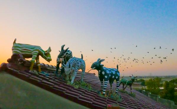 屋頂上的山羊