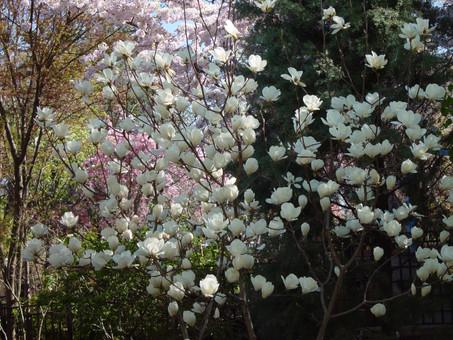 木蘭花 繁花點點