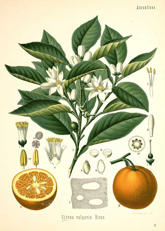 F.E.Kohler Botanical Illustration - Orange