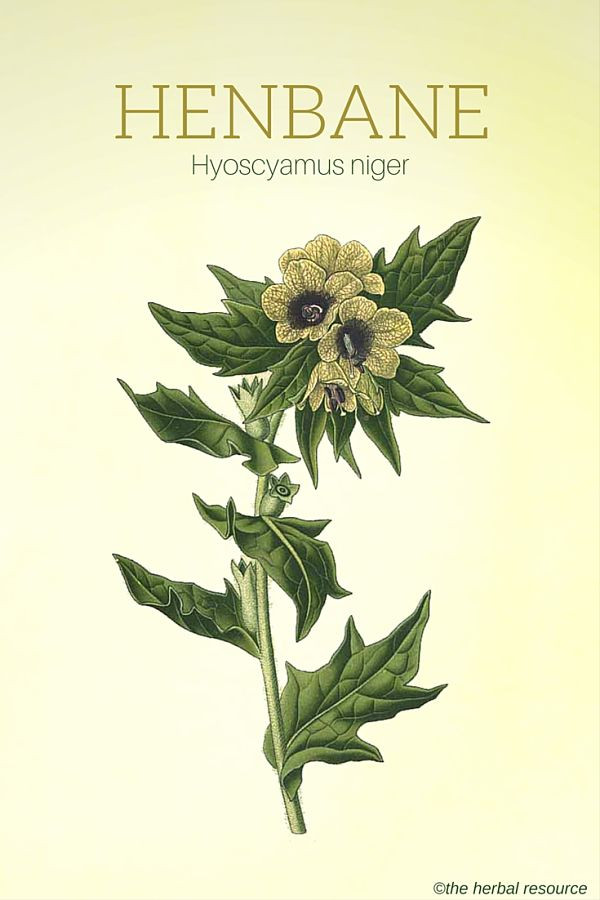 Henbane botanical illustration