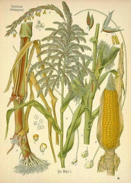Corn: Botanical Illustration
