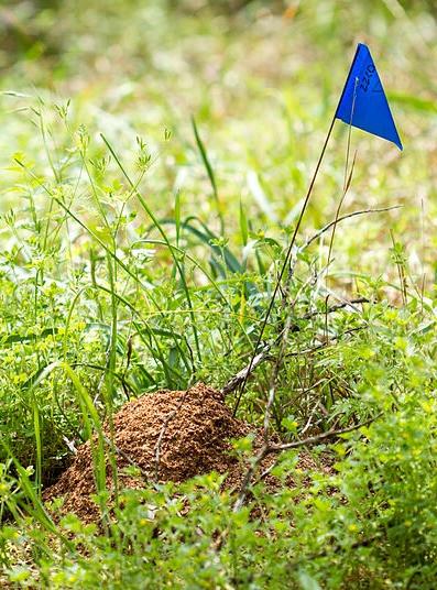 RIFA mound. Image courtesy of Insects Unlocked.