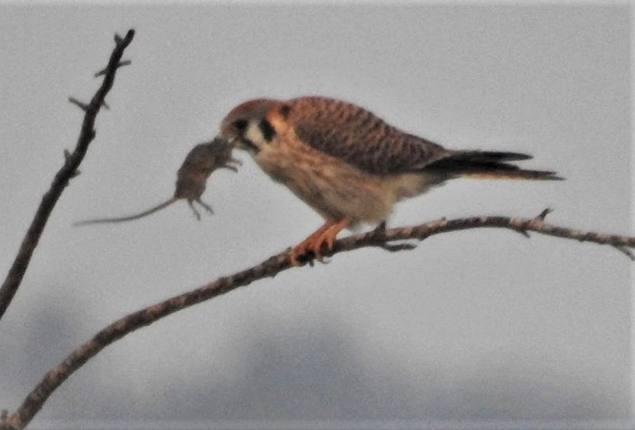 This American kestrel helps Ken Blackford keep the rat population down on his property.