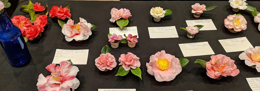 An array of Sharon Lee's camellias on display at the February meeting.
