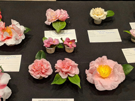 PLANT OF THE MONTH: Camellia japonica