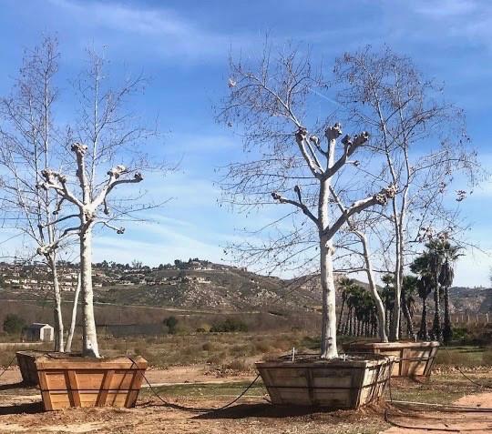 Pollarded trees at Big Tree Nursery.