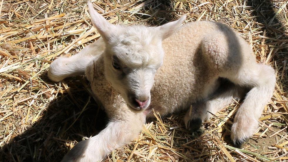 3L 20-746 twin white ewe. Dam: 17-937. Sire: Thor RR