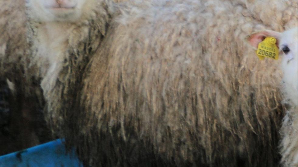 3L 20-706 Quad white ewe. Twins by King Arthur QR