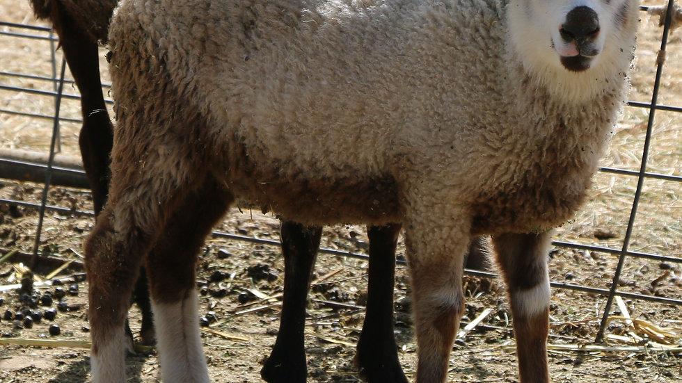 3L 21-910 Twin Brown badger Ram.