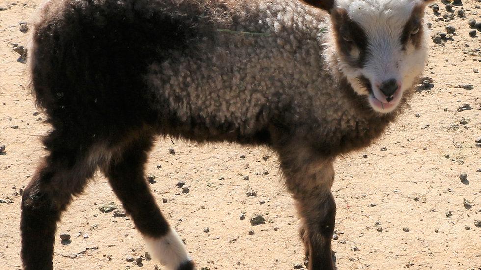 3L 21-018 Brandy - Twin badger ewe.