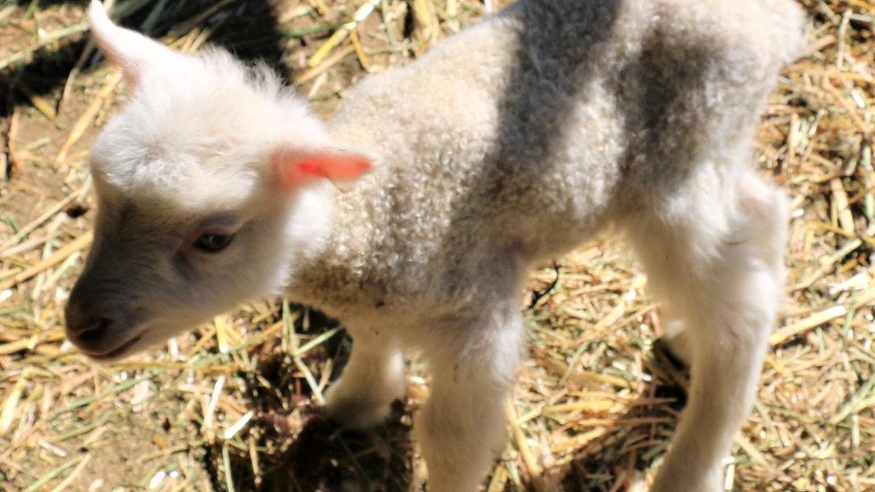 3L 20-671 Triplet white ewe. Dam: 16-752. Sire: Thor RR