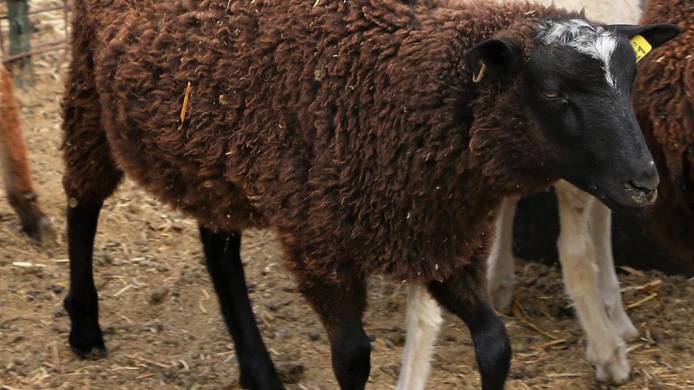 3L 20-621 Quad black ram. Dam: 12-001. Sire: Phantom