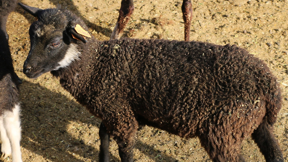 3L 21-864 Quad Black ewe. Dam: 18-207. Sire: Diablo