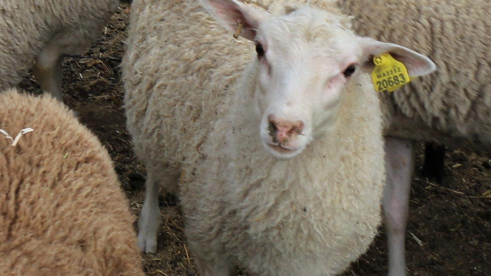 King Arthur QR Sextuplet white ram.
