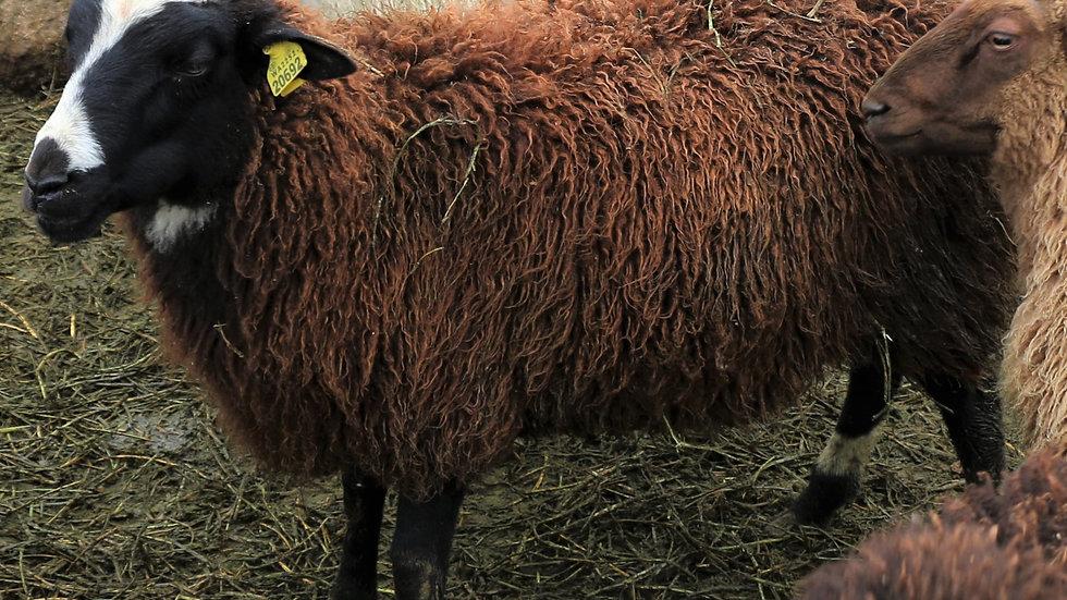 3L 20-692 QR Quad black Ram. Dam: 16-715 QR. Sire: Big Papa QR