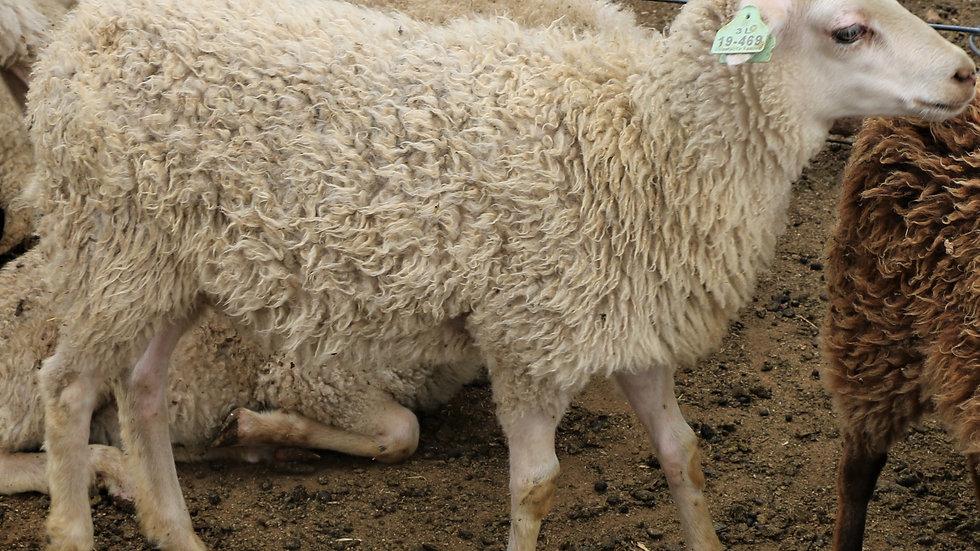 3L 19-469 triplet white ewe. Dam: 17-019 QR. Sire: Odin QR