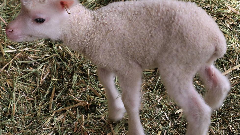 3L 21-036 Triplet white ewe. Dam: 19-336. Sire: Octavius