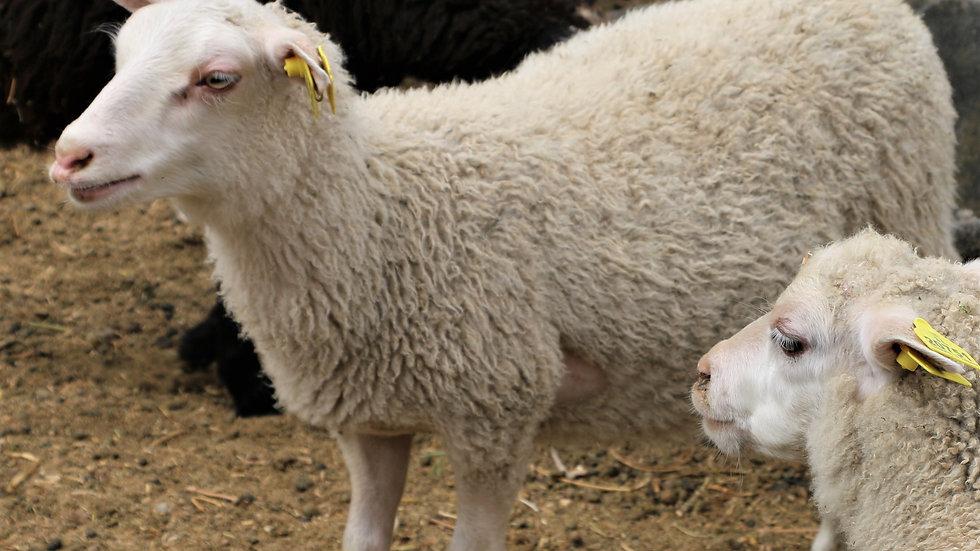 3L 20-628 Quint white ewe. Dam: 13-253. Sire: Badger Man QR