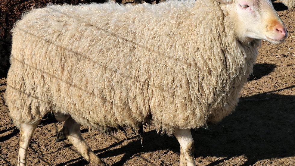 3L 18-164 Sextuplet White Ram. Dam: 13-259. Sire: Robin